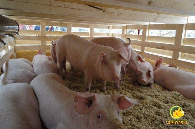 种猪引进后的隔离与适应
