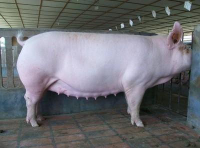 母猪产程长的原因和危害以及缩短产程的方法