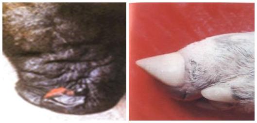 简述猪口蹄疫的流行新特点及防控三要素