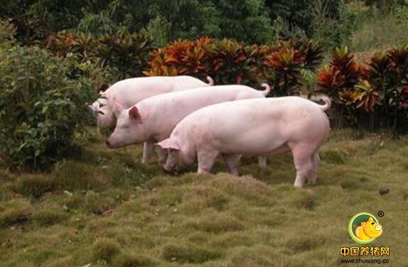 生猪怎样快速增肥?生猪快速增肥8个办法