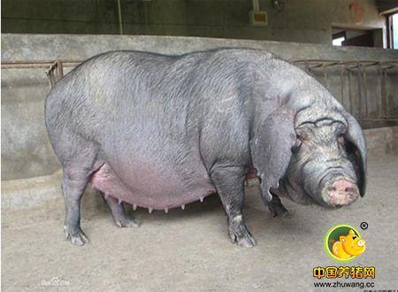 妊娠母猪的日均采食量该如何控制