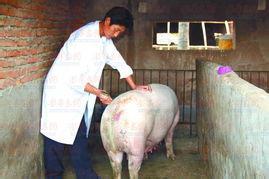 如何解决猪只黄曲霉素中毒问题