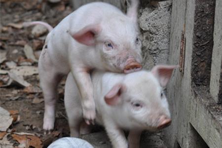 2016年9月23日(10至15公斤)仔猪价格行情走势