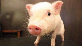 2016年9月24日(20至30公斤)仔猪价格行情走势