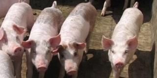 八月进口肉占消费总量六分之一,难怪猪价一直跌!