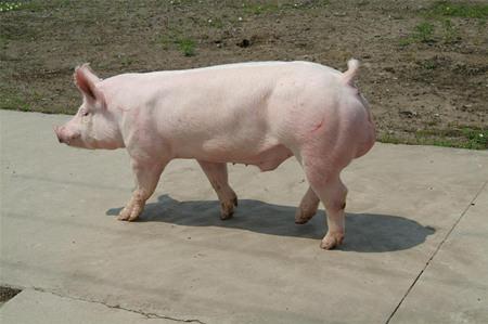 2016年9月26日全国各地区种猪市场最新价格行情