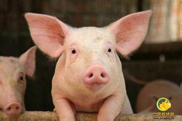为什么猪吃了不长膘