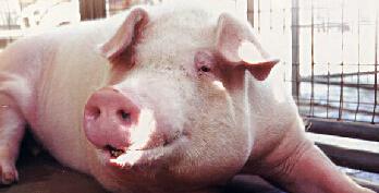 业内:本周或将是此轮猪价跌势的尾声阶段