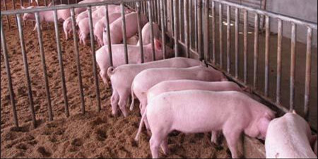 行情预测:国庆猪价向稳靠拢 回稳需经历过程性