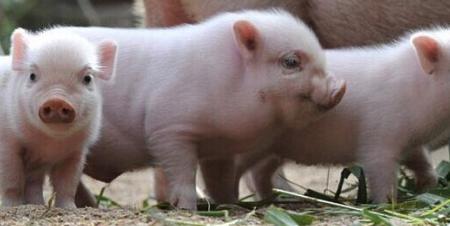 国庆节假期对猪价行情难以起到较大的变化