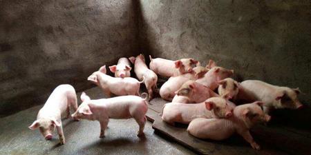 网友:猪价已经没有继续下跌的供应基础