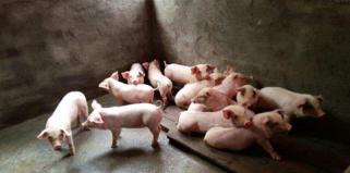 消费旺季要等到11月份以后猪价反弹或遭遇挣扎