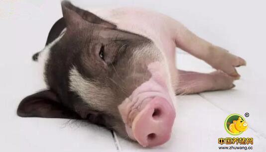 乳猪饲料蛋白质原料选择