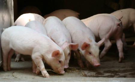 不以为然?!业内提出并不担忧生猪市场暴跌