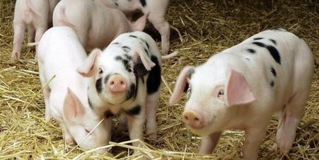 猪价暗藏利好因素 国庆期间能否有所反弹?