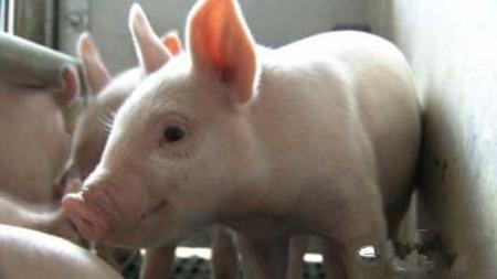 如何区别猪中毒性疾病与传染病,如何诊治?