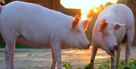 养猪别愁!预计生猪养殖盈利期可持续到明年4-6月份