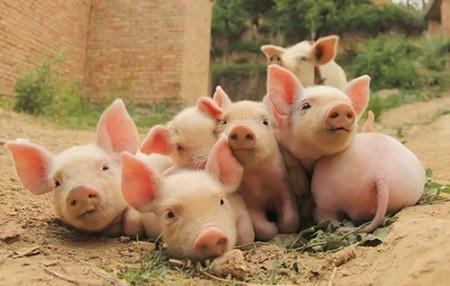 今年是生猪盈利最好的年份 明年价格下滑但仍有利润