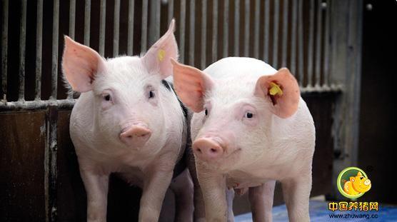 明年集团消费有望增加 猪肉替代鸡肉猪价复苏有望