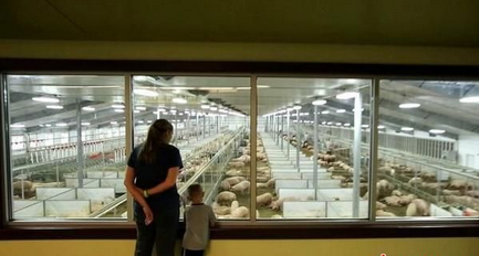 每年45万游客猪场大冒险!美国养猪场成旅游胜地