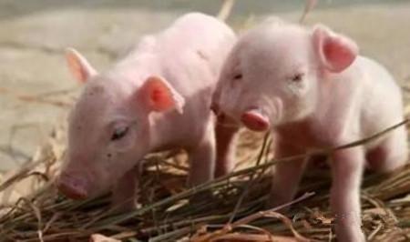 一个规范科学的猪场 在建造的时候最好遵照以下规格方科学