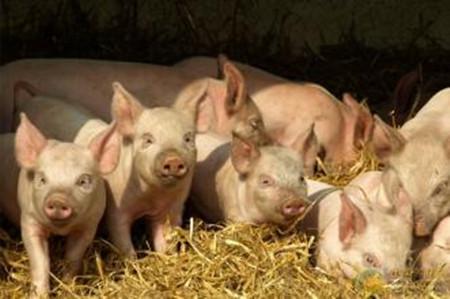 猪场建设的误区
