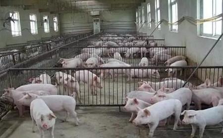 猪舍吊顶种类有哪些?