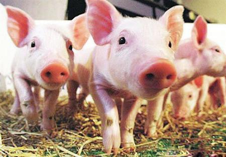 2016年10月19日(15至20公斤)仔猪价格行情走势