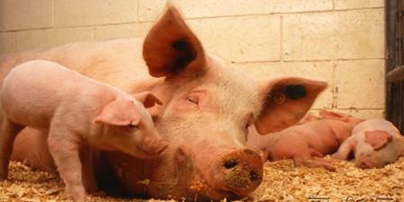 消费旺季提振下,猪价有望回升至8.5—9元区域价位