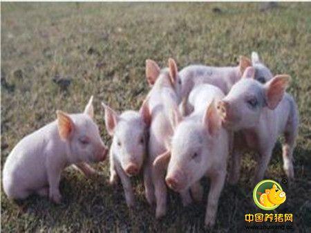 猪舍和产房温度要控制好
