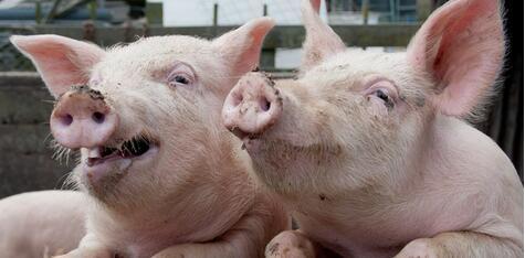 猪价连涨3天,但购买千元仔猪的育肥户还是想哭