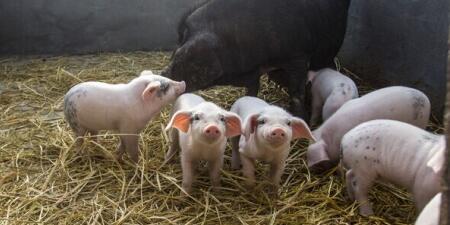 冬季消费旺季 我国猪价带来持续两个月以上的上涨