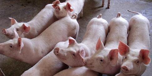 这几天猪价可算是上涨了,我们接下来该怎么办?