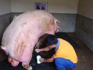 为什么要给猪人工授精,难道猪没有自由交配的权利吗?