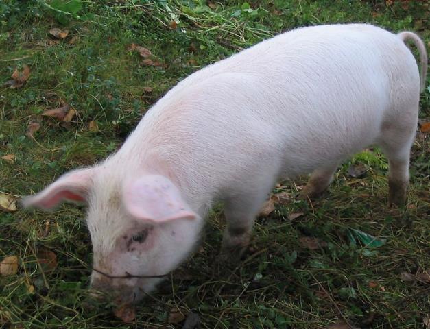 猪不吃食的问题该怎样解决