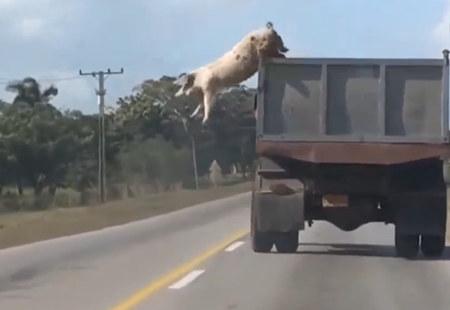实拍大母猪从行驶的卡车跳下逃跑 真实版的越狱啊!