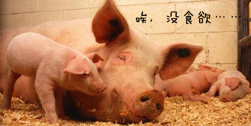 这个寒冬把握行情养好猪——母猪产前低温不食咋解决?