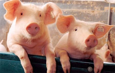 仔猪消化生理特点和微生态制剂的关系