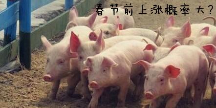 春节前猪价行情上涨的概率远大于下跌的概率