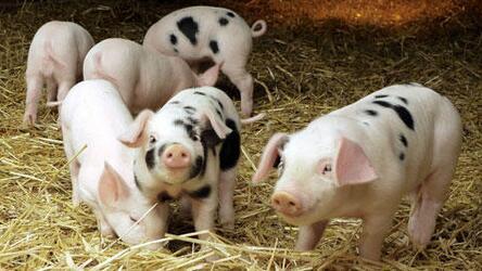 国家给养猪户补贴的原则是啥?规模越大,补贴越多!