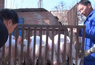 小人物的生存史---养猪人