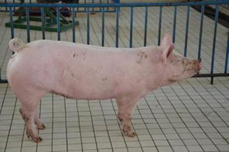 公猪精液品质与母猪繁殖力相关性研究