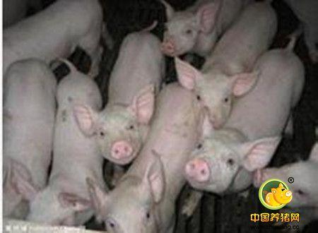 猪喘气病的防治体会