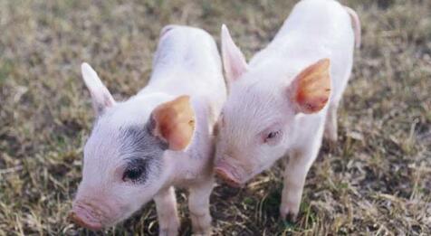想养好猪,环境很重要!研究发现居住空间大猪更乐观