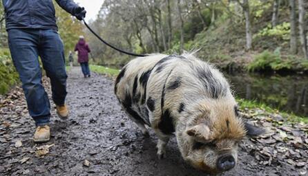 英国新政策:申请特别许可证后可带宠物猪上街散步