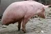"""惊奇!两只脚的猪你见过吗?这才是真正的""""猪坚强""""......"""