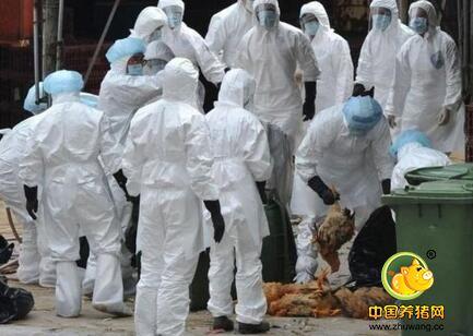 近日多个邻国发生禽流感,感染来源尚不清楚
