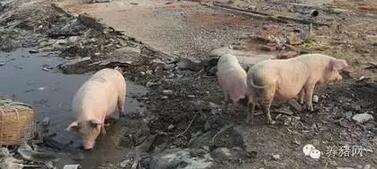 对不起,今天养猪人向全国人民道歉!