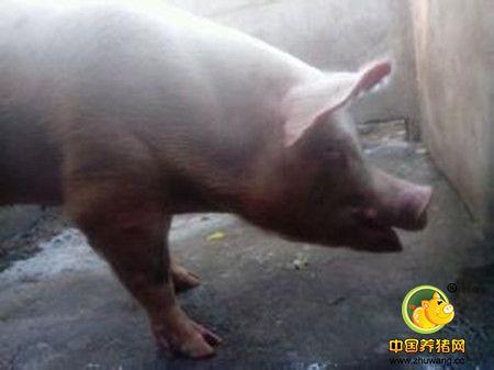 高手告诉你解决猪发烧41°的方法