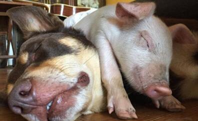 惊奇!澳洲一只小猪竟把自己当成狗
